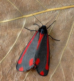 Photo of a Cinnabar moth