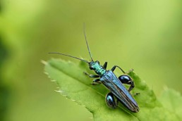 Thick thighed Flower Beetle